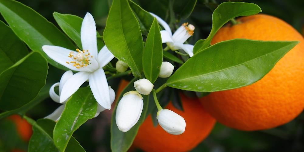 Recuerdo de naranjos y jazmines